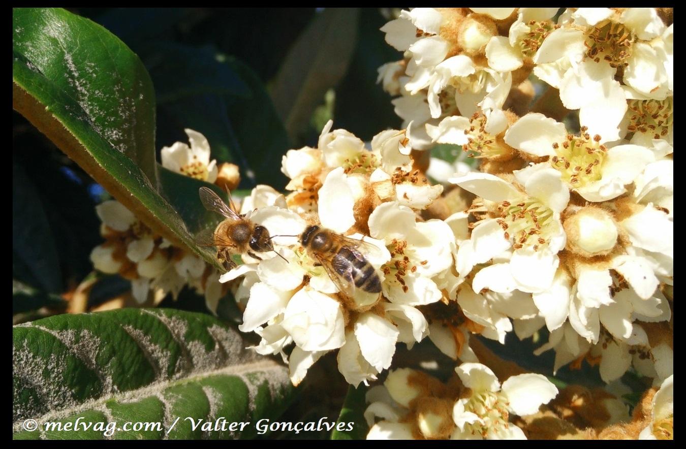 Flor de Nespereira